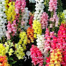 snapdragon flowers 2018 mixed color snapdragon antirrhinum flower 1000 seeds