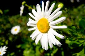 montauk daisies how to grow a late blooming standout