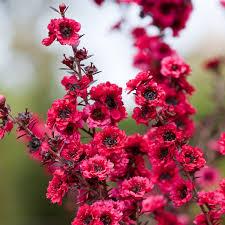 leptospermum scoparium winter cheer actually this one is a new