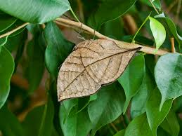 mystery solved how butterflies came to look like dead leaves