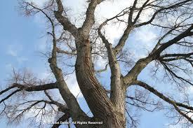 winter bark u0026 bough a valentine to trees janet davis explores