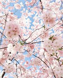 the 25 best cherry flower ideas on pinterest cherry blossom