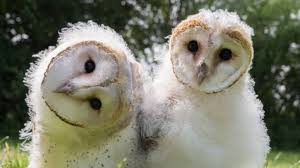 Where Does The Barn Owl Live Owl Power About Nature Pbs