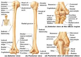 Anatomy And Physiology Labeling The 25 Best Bones Of The Body Ideas On Pinterest Body Bones
