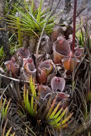 92 best flesh eating plants images on pinterest carnivorous