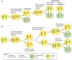 dna asymmetry in stem cells u2013 immortal or mortal journal of
