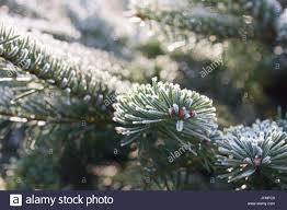 nordman christmas tree stock photos u0026 nordman christmas tree stock