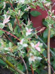 ornamental willow ornamental willow tree prize flickr