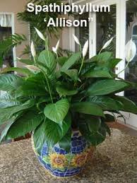 134 best peace lily images on pinterest peace lily indoor house