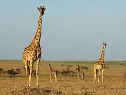 african safari animals the 25 best safari guides condé nast traveler