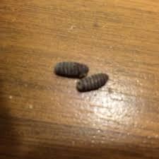 larven in der k che eier bzw larven in der küche gefunden insekten schädlinge