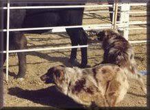 slash v australian shepherds australian shepherd information