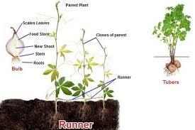 Vegetative Propagation By Roots - plant reproduction biology tutorvista com