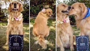 Comfort Retrievers Unique Video Captures Golden Retriever Puppy Comforting His Scared