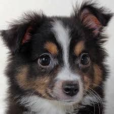 australian shepherd for sale mini australian shepherd puppy for sale in boca raton south florida