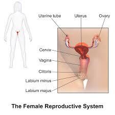 female reproductive system u2013 hd m com