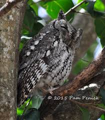 two screech owls sitting in a tree digging