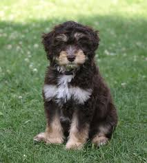australian shepherd and poodle aussiedoodle dog breed temperament diet training character