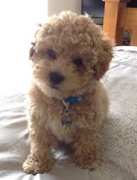 bichon frise dog breeders toy bichon frise for sale toy poodle cross bichon frise for sale