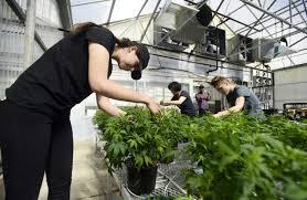 lafayette florist co hemp operation opens in storied lafayette florist greenhouse