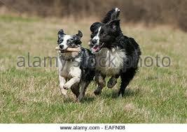 australian shepherd and border collie running australian shepherd border collie mongrel stock photo
