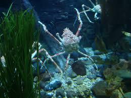 foap com japanese spider crab at dallas world aquarium and zoo