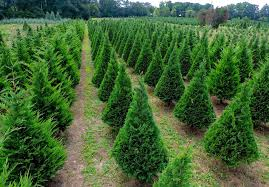 10 best tree farms tree farms to visit