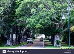 Canopy Plural by Florida Hobe Sound Se Bridge Road Banyan Trees Canopy Stock Photo