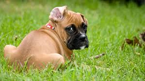 boxer dog 2015 8 things you need to know before getting a boxer dog my boxer