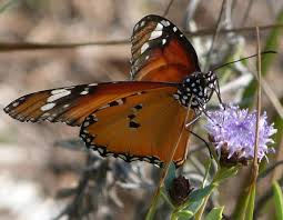 plain tiger butterfly increases its range a mediterranean nature