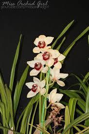 cymbidium orchid cymbidium orchids care sheet orchid nature