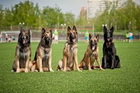 belgian sheepdog varieties types of belgian shepherd petstorynews com