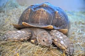 family bought victor the tortoise only discover he was rare giant
