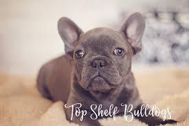 top shelf bulldogs akc english bulldog puppies u0026 akc french