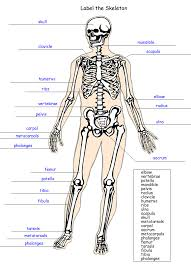 Anatomy And Physiology Muscle Labeling Exercises Anatomy Skeletal System Labeling Quiz At Best Way To Study Anatomy
