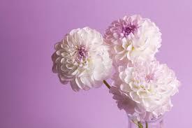 dalia in vaso tre fiori della dalia in vaso fotografia stock immagine di