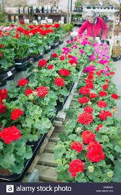 Fragrant Bedding Plants Plants Sale English Garden Centre Stock Photos U0026 Plants Sale