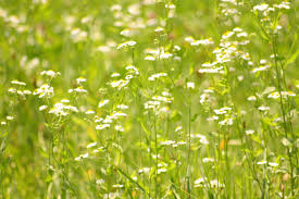 field of daisies free stock photo public domain pictures
