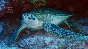 endangered ocean sea turtles ocean today