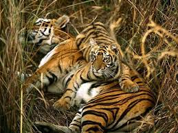 tiger and cubs picture of sundarban bagerhat tripadvisor