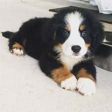 8 week old australian shepherd weight 8 weeks old bernese mountain dog puppy and already has a mustache