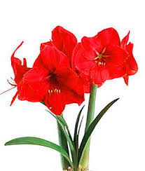 amaryllis flowers amaryllis stunning display of winter colors burpee