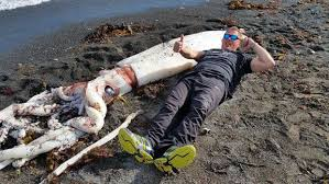 positively humongous 7 meter 23 foot squid washes ashore in nz