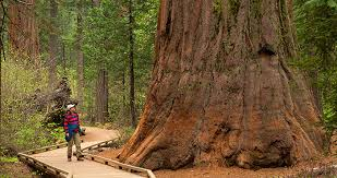 calaveras big trees state park save the redwoods league