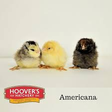 buy easter egger chickens where to buy americana chickens efowl