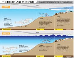 climate change and lake whitefish project michigan sea grant