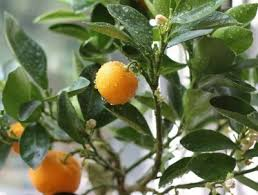 information on growing calamondin trees calamondin growing tips