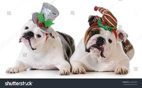 christmas dogs two english bulldogs wearing stock photo 242065306