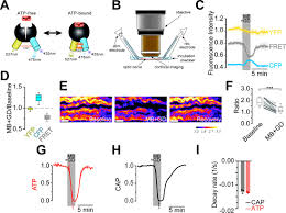 monitoring atp dynamics in electrically active white matter tracts