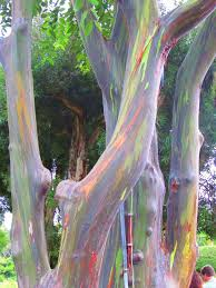 best 25 rainbow eucalyptus tree ideas on eucalyptus